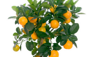 drvo pomorandze