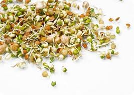 Proklijala zrna pšenice. Klice pšenice. Prirodno lečenje bolesti.