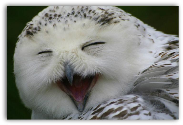 Pogledajte: Sova koja se smeje.