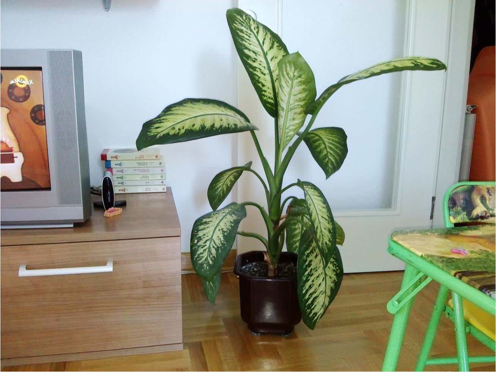 Koje sobne biljke je opasno po zdravlje imati u kući