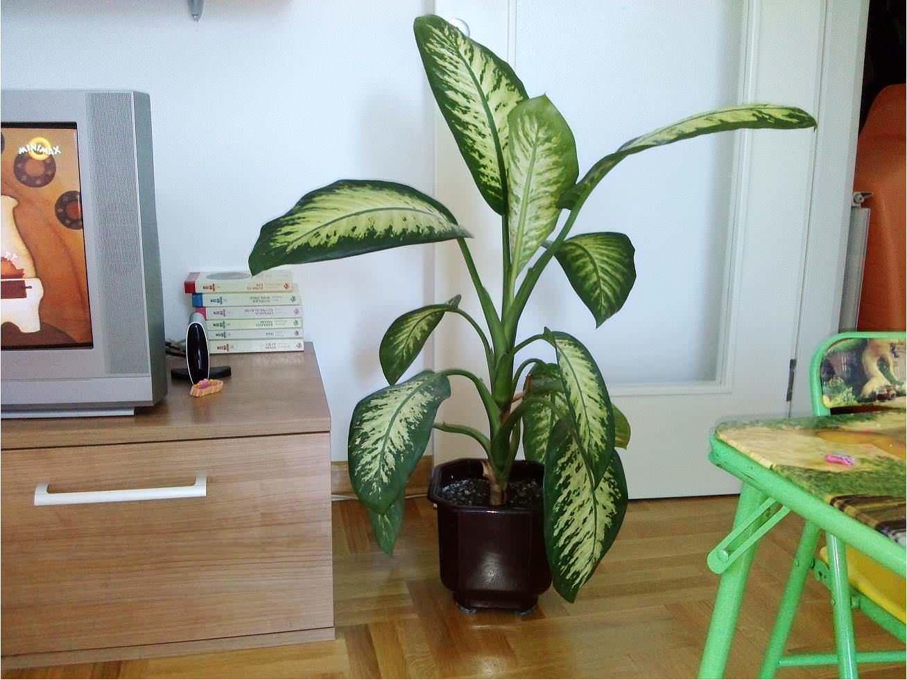 Koje sobne biljke je opasno po zdravlje imati u kući! - Uspesna zena