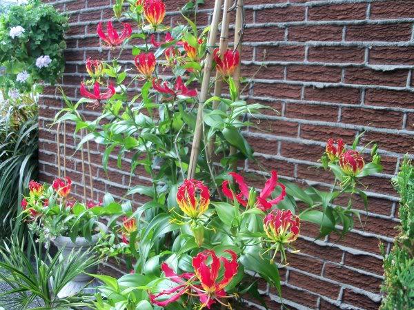 Koje sobne biljke je opasno po zdravlje imati u kuć