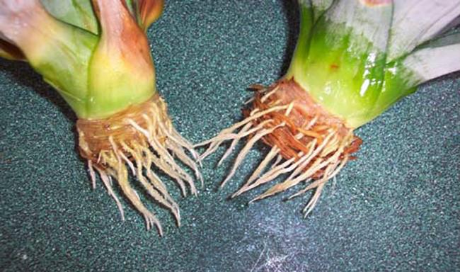 Kako odgajiti ananas u saksiji