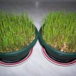 Kako posejati božićnu pšenicu