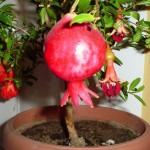 Egzotična biljka u vašem prozoru. Kako odgajiti nar iz semenke.
