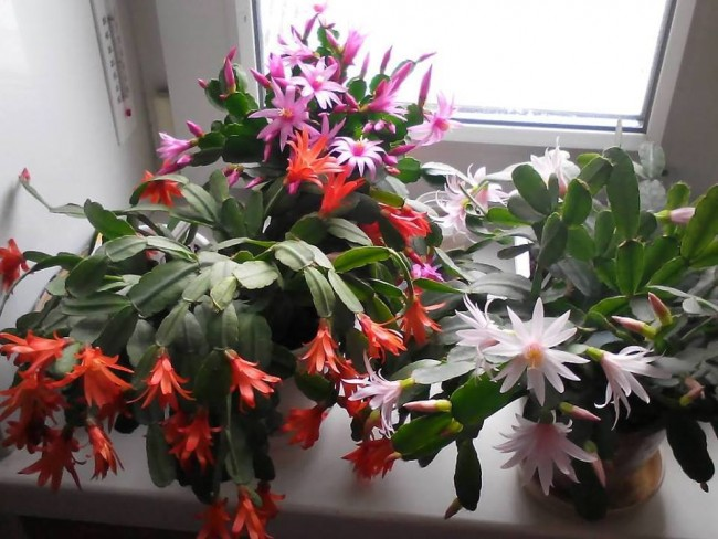 Kako sobnim biljkama produžiti cvetanje.