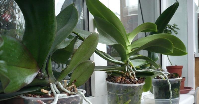 Zašto ne cveta orhideja. Kako uticati na cvetanje orhideje? – Valovi