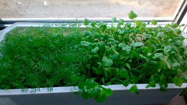Kako uzgojiti zelen na svom prozoru
