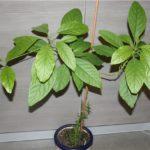 Kako uzgojiti avokado iz koštice: 7 jednostavnih koraka.