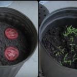 Stavio je 4 kriške paradajza u sud sa zemljom. Evo, šta se desilo za 12 dana...