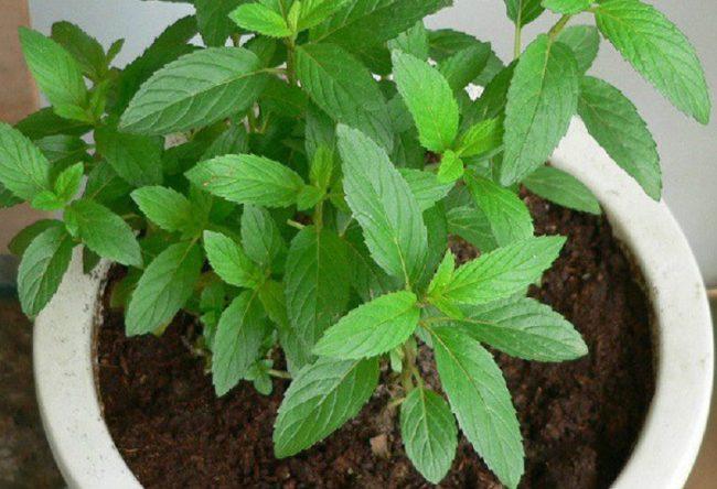 Ako u svojoj kući imate ovu biljku, više nikad nećete videti paukove, bube i voćne mušice.