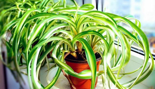 Hlorofitum-sobna biljka koju treba da ima svaka kuća
