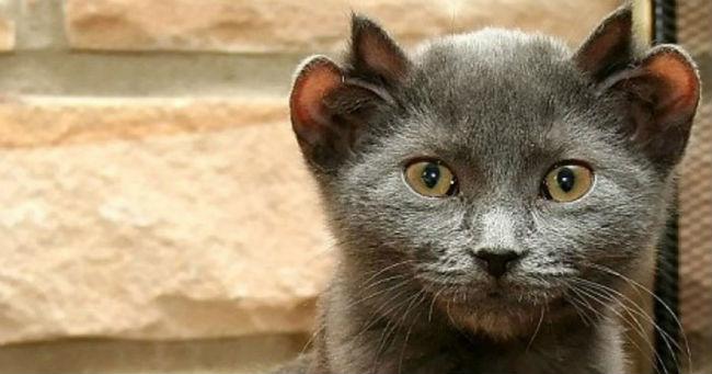 Mačak po imenu Joda rodio se s dva para ušiju