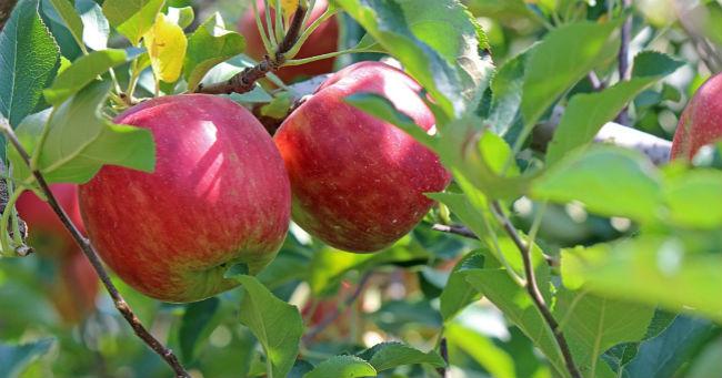 Priča o jabuci. Ili zašto vas ne cene i sav vaš trud uzimaju zdravo za gotovo