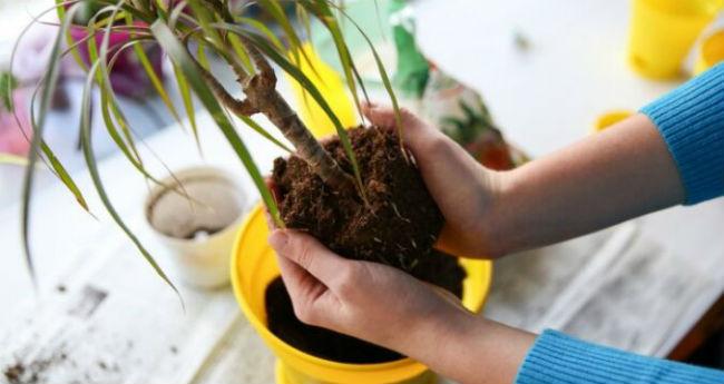 Povoljni dani za presađivanje sobnih biljaka po lunarnom kalendaru do kraja 2020. godine